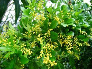 Philippine Plants - Aglaia odorata
