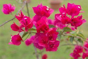 Philippine Plants - Bougainvillea