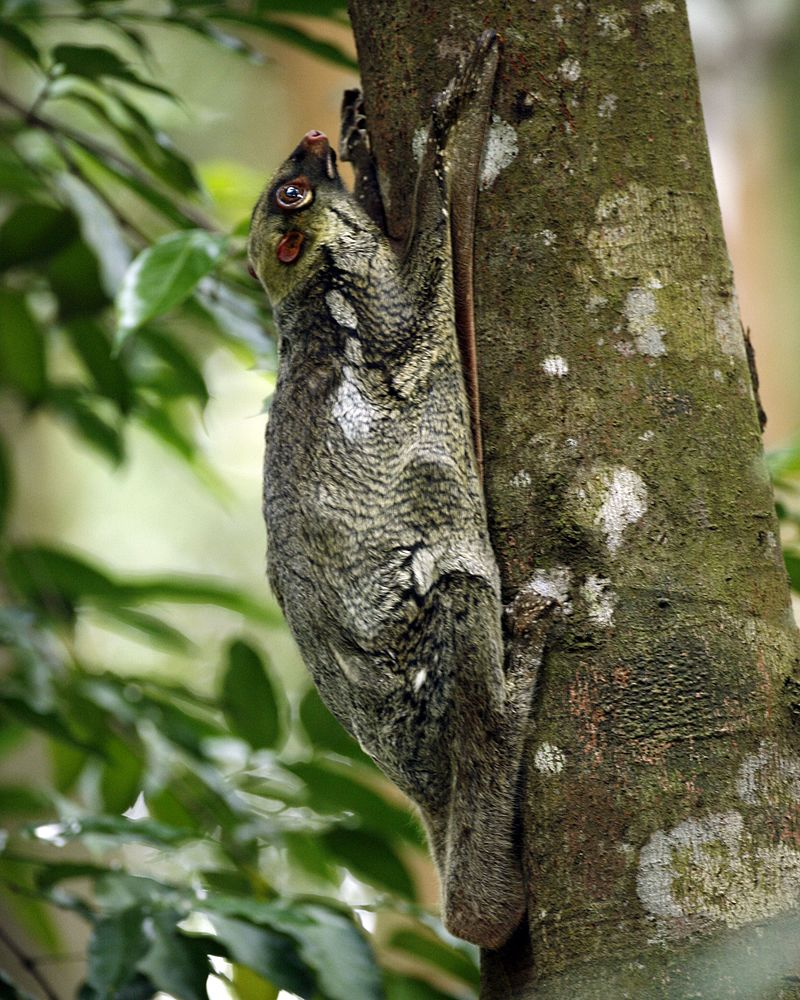 animals found only in the phililppines - Philippine Flying Lemur