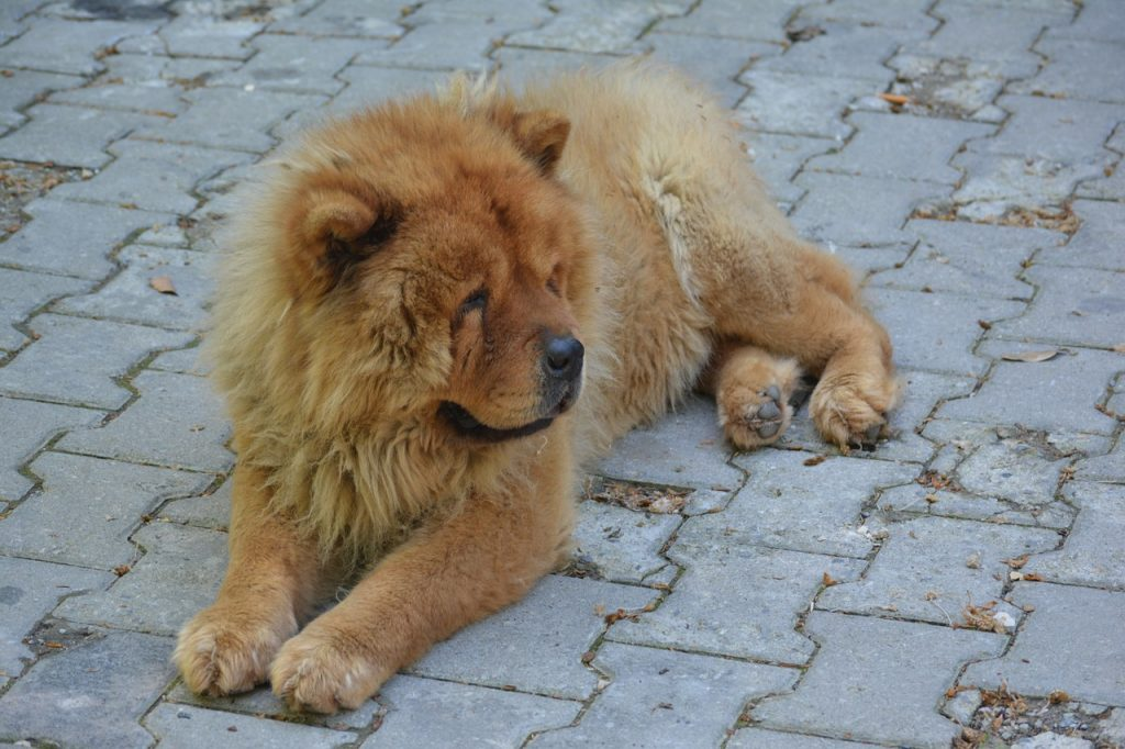 dog breeds philippines - chowchow