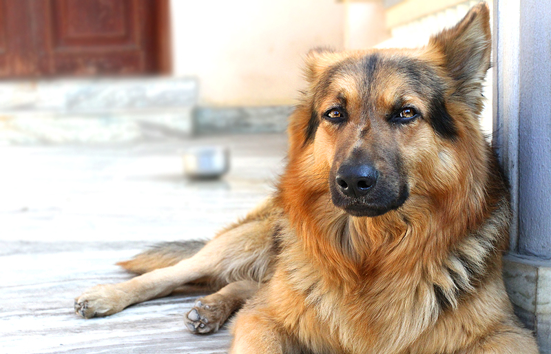 dog breeds philippines - german sheperd