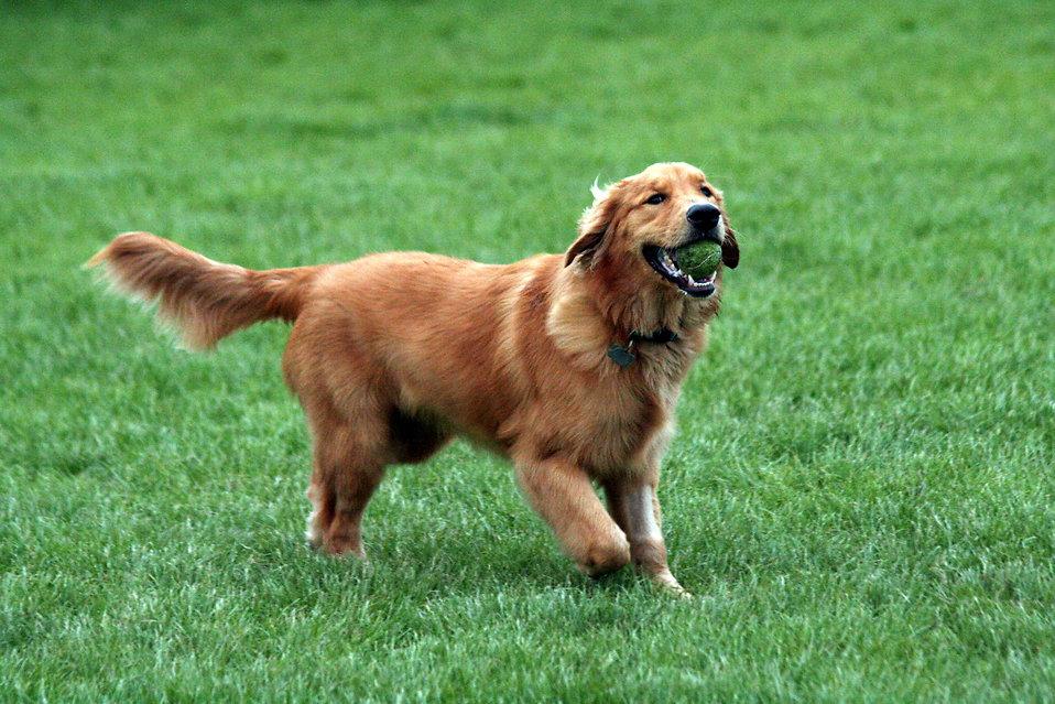 dog breeds philippines - golden retriever